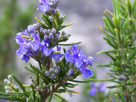A Dip into the Medieval World: Rosemary