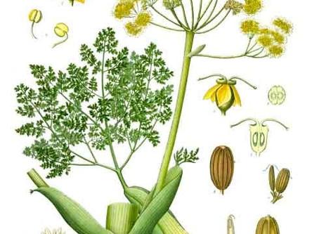 Galbanum: L'huile sacrée oubliée