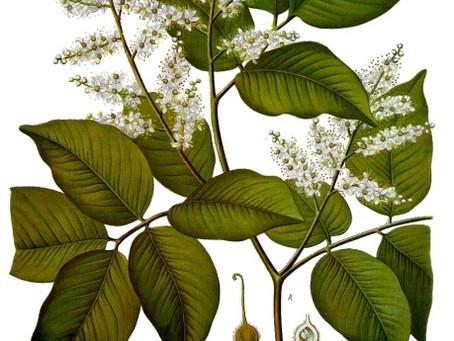 A la découverte du Copahu (ou copaiba)