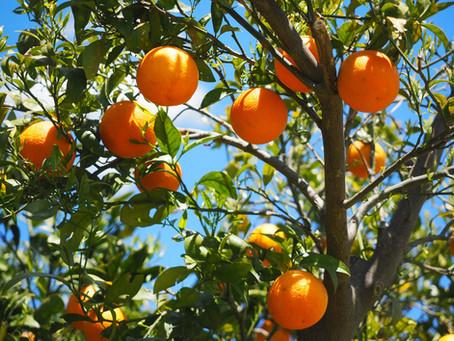L'orange: un trésor sous-estimé