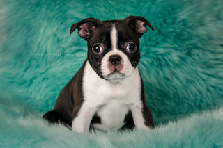 Yoda - Boston Terrier