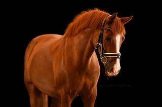 Studiofotoshooting mit Pferd