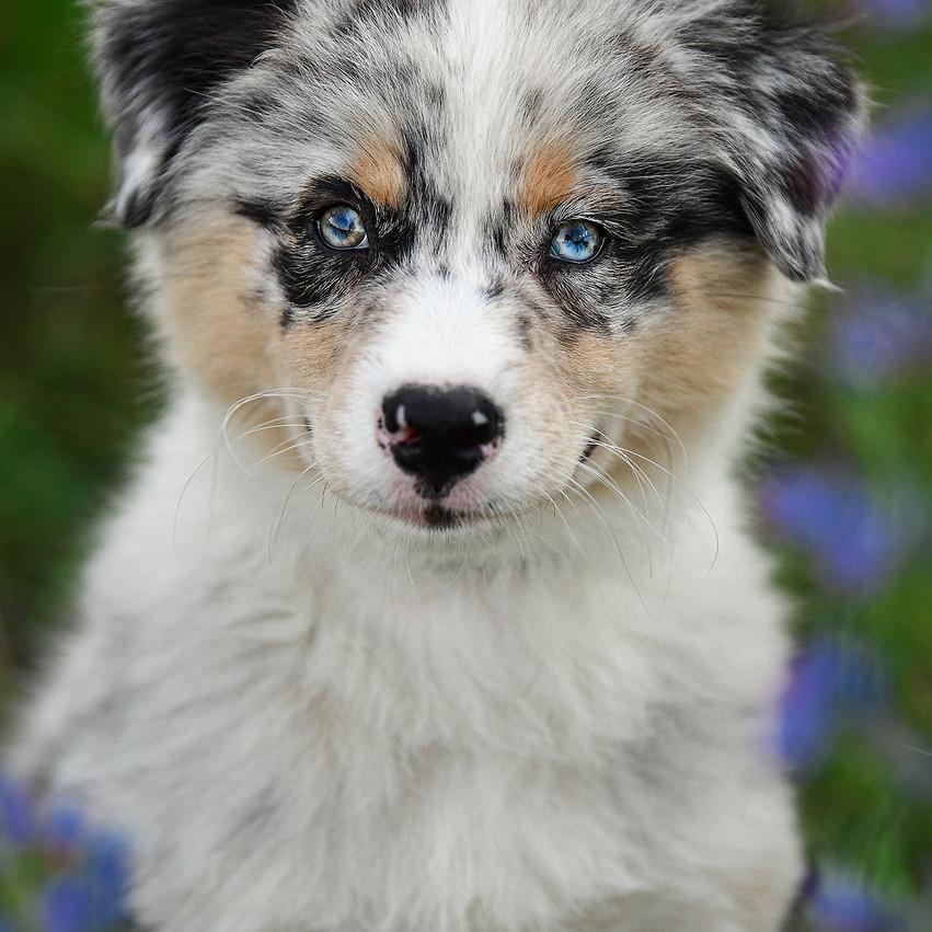 Hundefotografie - Welpenfotoshooting