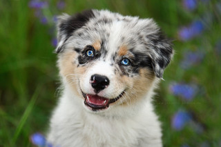 Australian Shepherd - Jasper