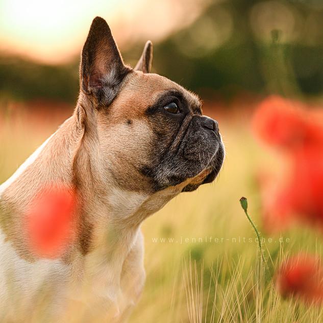 Roxy - Französische Bulldogge - Hundefotografie