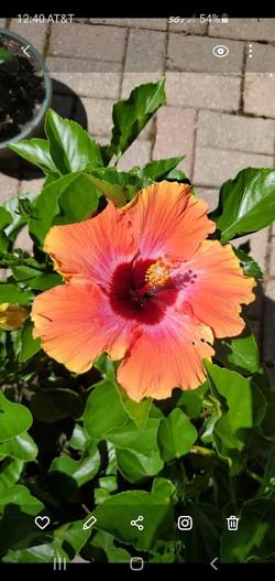 fiesta hibiscus
