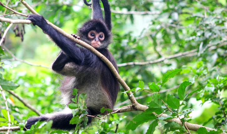 Chiapas Monkey.jpg
