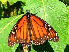 El Rosario Butterfly Sanctuary Michoacan