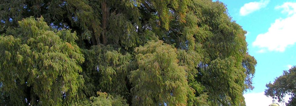 El Tule Tree.jpg