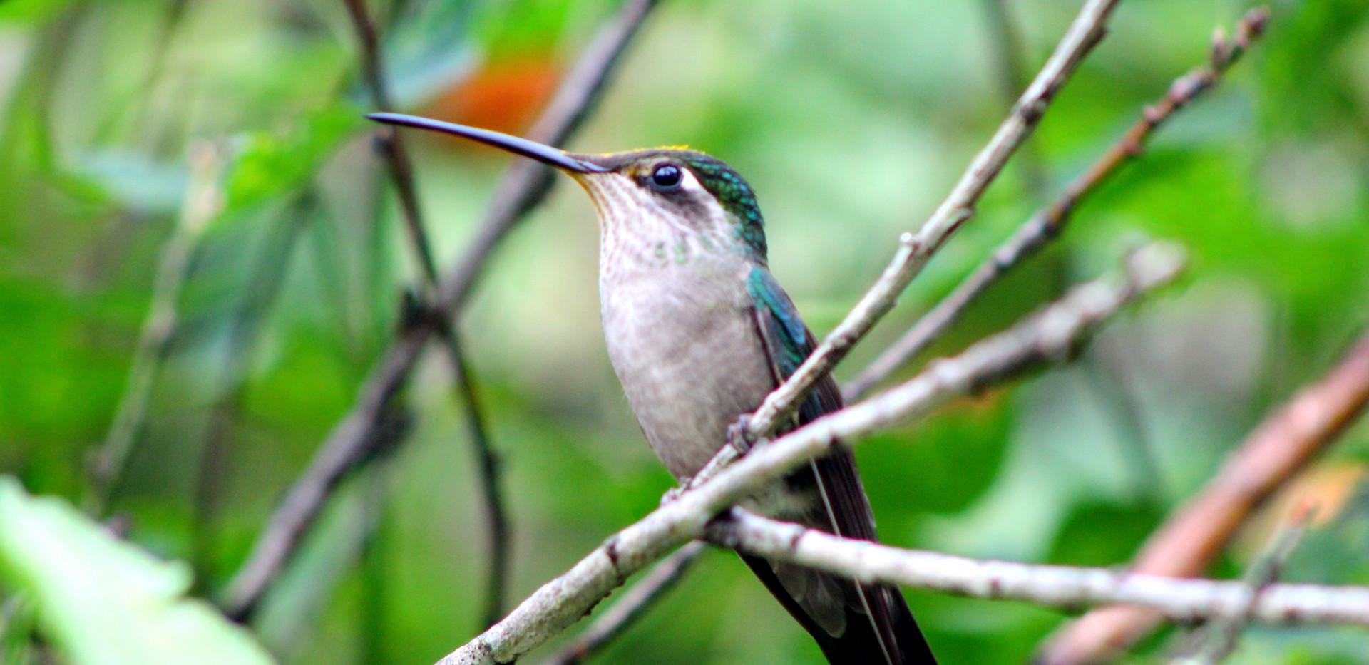 Chiapas Hummingbird.jpg