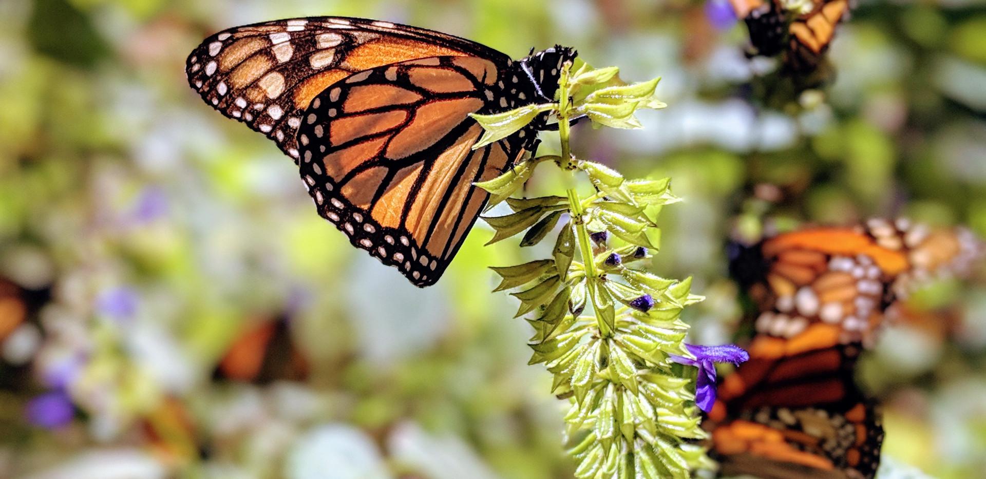 Michoacán Monarchs