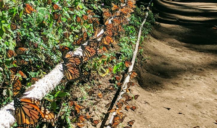 Monarch Path