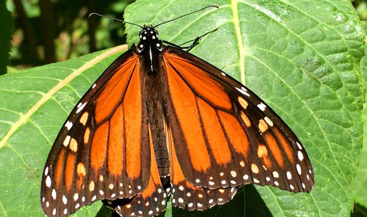 Michoacán Monarch