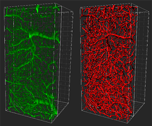 A 50 micron chunk of brain reveals intricate capillary networks