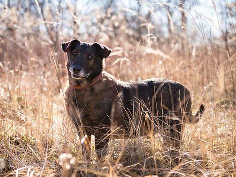 Eddie - Schäferhund-Dackel-Mischling