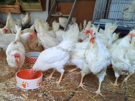 Wir suchen wieder dringend gute Hühnerplätze!