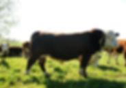 племенной бык герефрд Дмитриевского типа 550-600 кг.