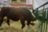 купить быка герефорда