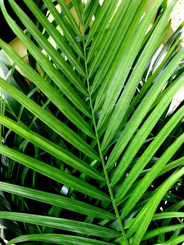What is the Deal With the Palm Branches?