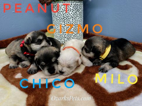 Peanut Chico Gizmo Milo.jpeg