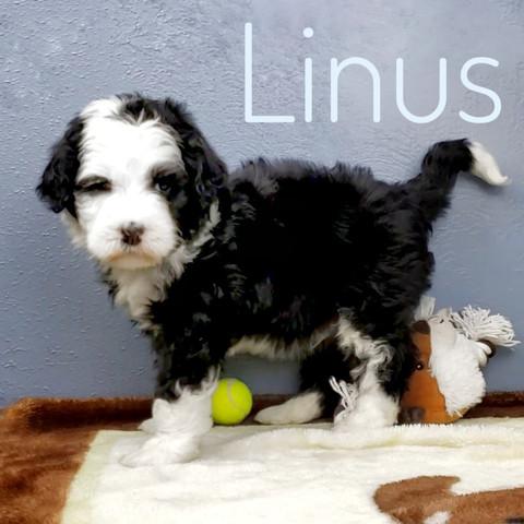 Linus (2).jpeg
