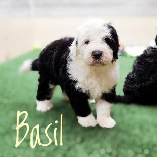 Basil (1).jpeg