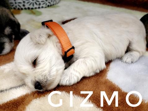 Gizmo (5).jpeg