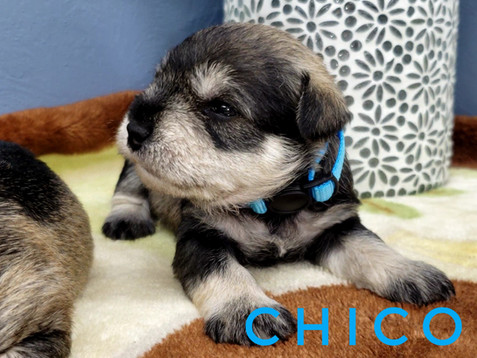Chico (2).jpeg