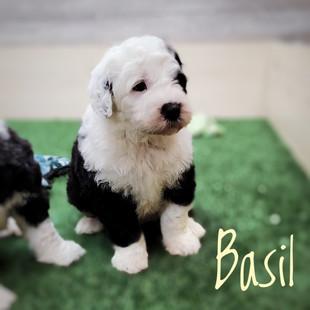 Basil (4).jpeg