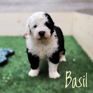 Basil (3).jpeg