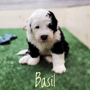 Basil (2).jpeg