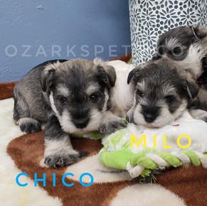 Chico Milo.jpeg