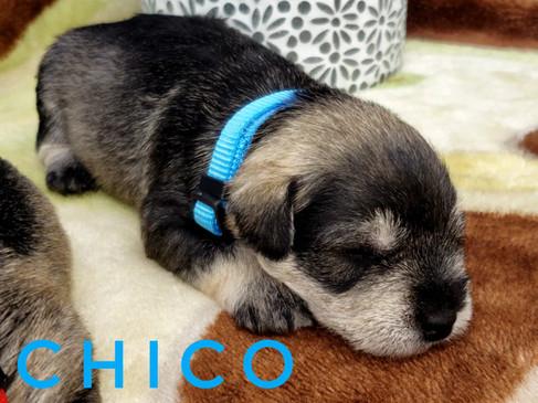 Chico (1).jpeg
