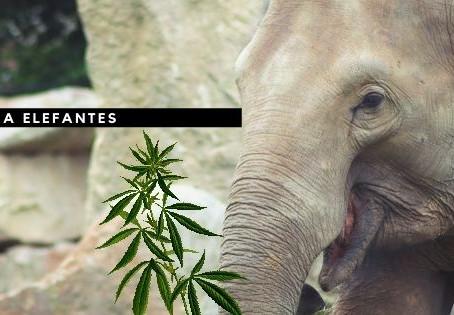 Aceite de CBD para elefantes
