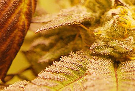 Marihuana morada: Investigación que profundiza en el ADN del cannabis.