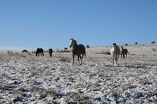 chevaux_Causse_enneigé.jpg