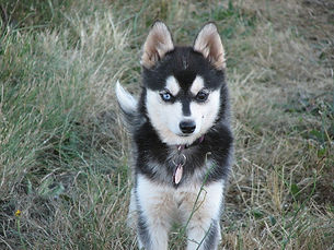 Alaskan Klee Kai Adopted