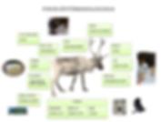 Different alternative usage of reindeer