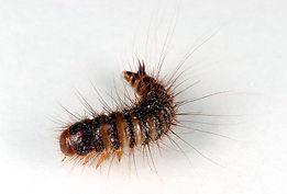 flaeskeklanner-dermesteslardarius-larve.