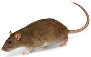 bruine-rat-bestrijden.png