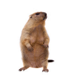 marmotte.PNG