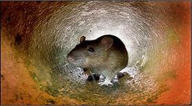 rat 1.JPG