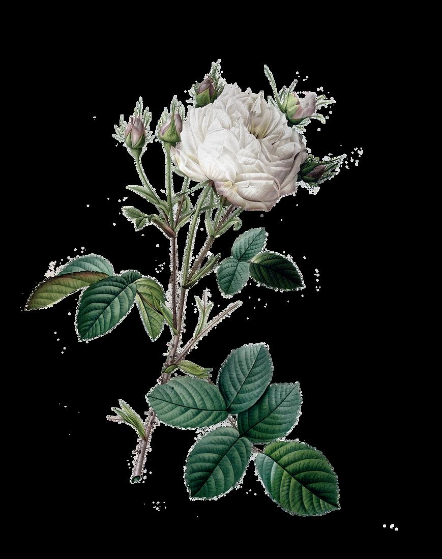 rosa centifolia mutabilis.png
