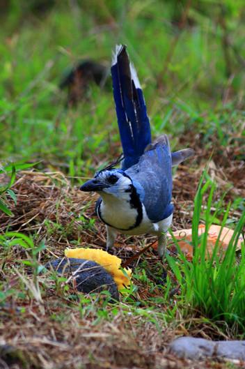 Blue jay eating backyard compost waste