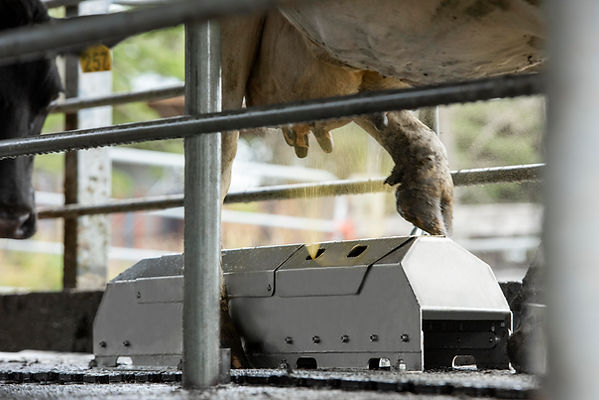 The Teatwand Stepover walkover teat spray automated system spraying a cows' teats