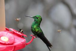 Hummingbird and bee