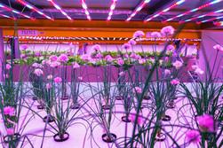 Flores en Hidroponía en Interior