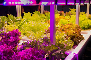 Growing vegetables using LED light.Grow