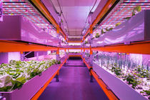 Shelves with lettuce in aquaponics syste