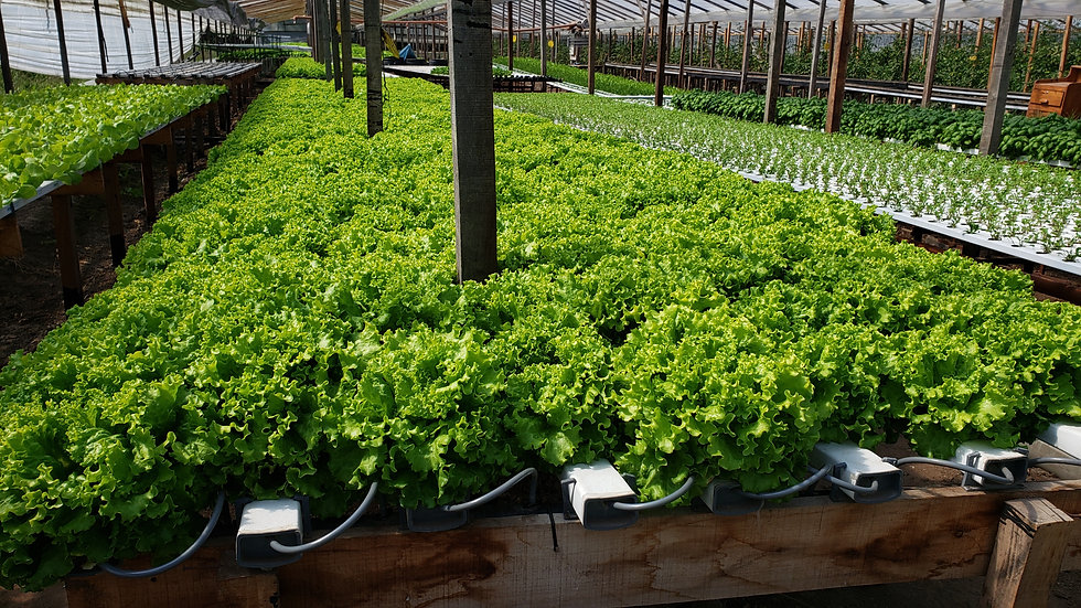 Cultivo Hidroponico NFT industrial